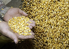 More and more corn is being used for biofuel at the expense of food, according to Jean Ziegler