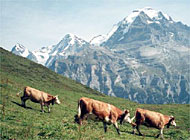 The Eiger, Mönch and Jungfrau mountains are all part of the region which may become a World Heritage site