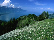 The narcissus fields above Montreux are a popular vantage point for views over Lake Geneva (photo: Montreux Tourism)