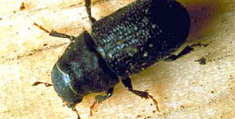 The Environment Office says urgent measures are needed to tackle the beetle infestation (picture: www.for.gov.bc.ca)