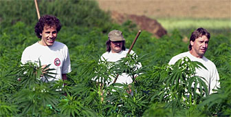 Hemp production has become an interesting sideline for many Swiss farmers