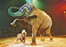 Elephants and miniature ponies remain part of the show