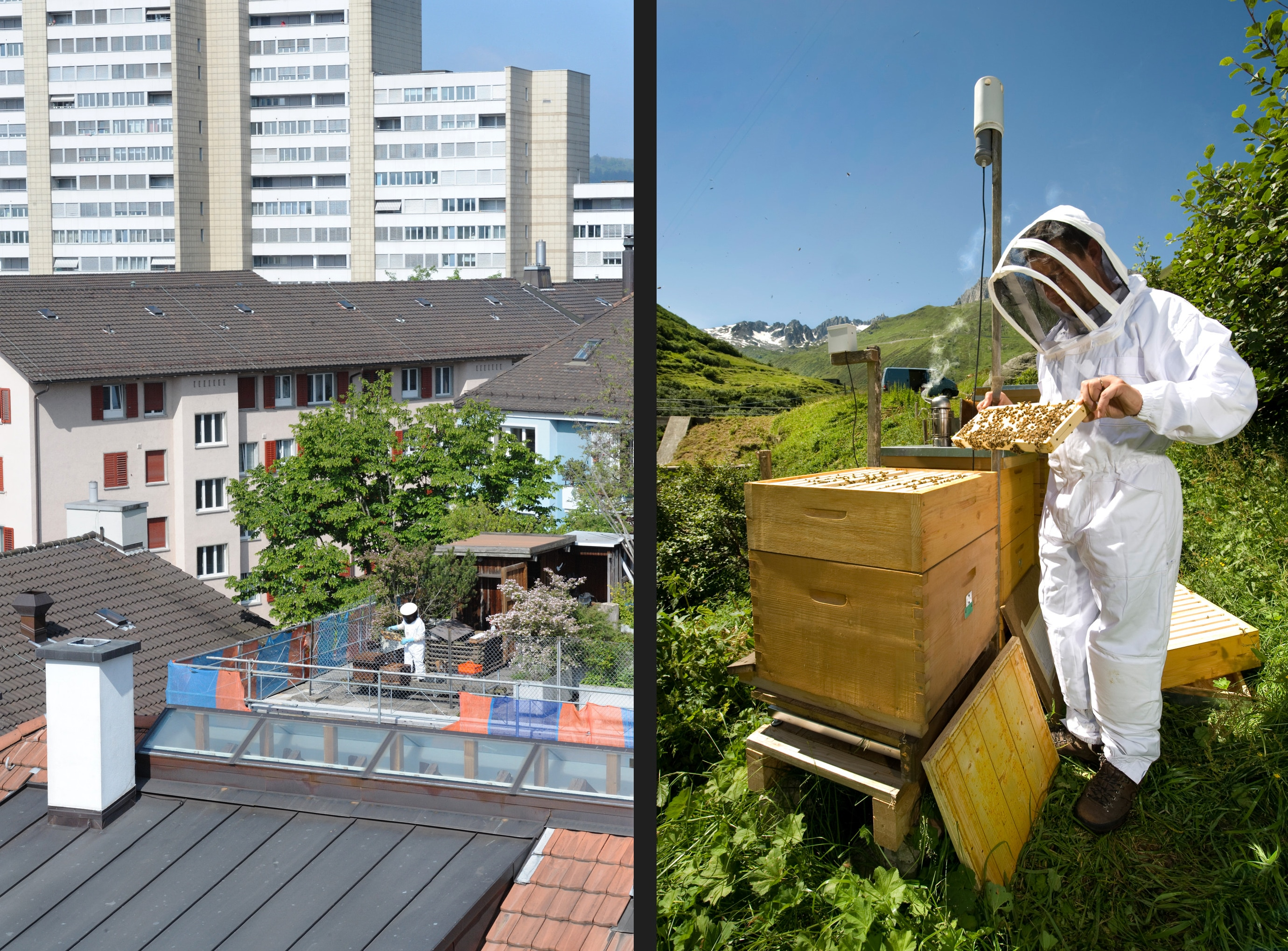 Hobby beekeeper Beatrice Meyer produces honey on her terrace in the middle of Zurich (left). Thomas Amsler checks his honeycombs at the Furka Pass.