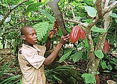 Cocoa harvests are under threat in Ivory Coast