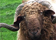 The endangered Roux du Valais sheep