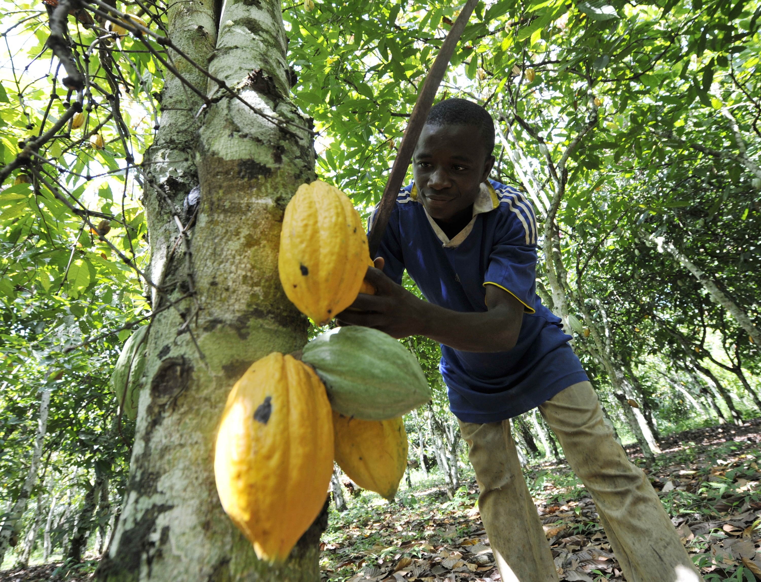 A young employee harvests beans from a cocoa tree in the Ivory Coast.  (AFP/ Sia Kambou)