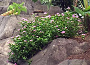The rosy periwinkle is prized for its medicinal qualities (swissinfo)