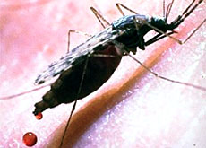The female Anopheles mosquito needs a blood meal every two or three days (STI)