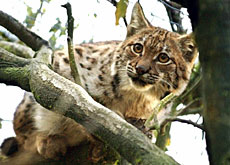 The lynx is still hunted by Swiss farmers