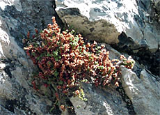 Experts say the purple mountain saxifrage could die from overheating