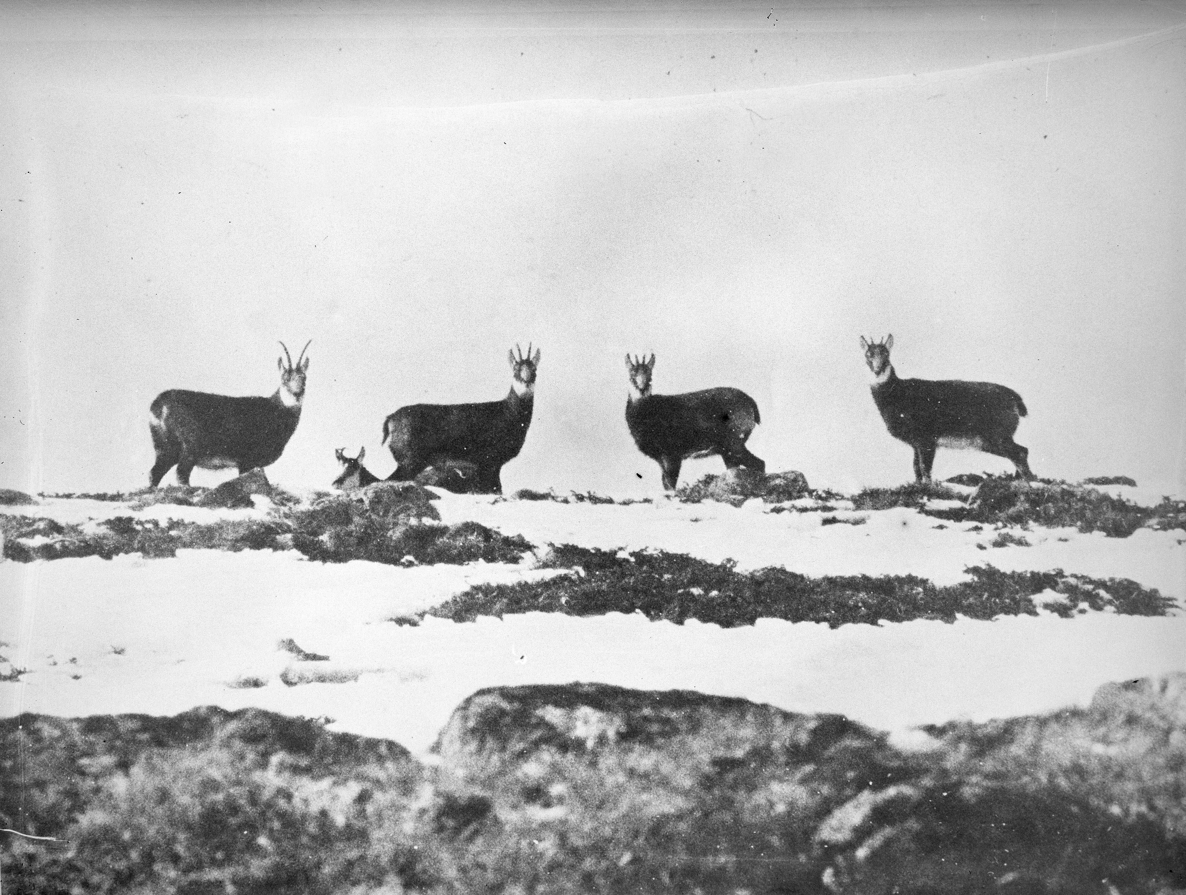 Cabras alpinas no Parque Nacional. Desde 1920 aproximadamenteentre mil e 1.700 delas vivem no local.
