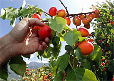 Fruit is a main staple of farming in canton Valais