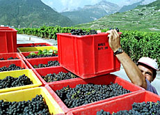 There are around 22,000 winegrowers in Switzerland