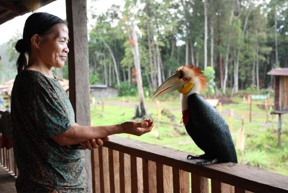 A Penan woman feeds a hornbill, known as Metui in the Penan langauge.