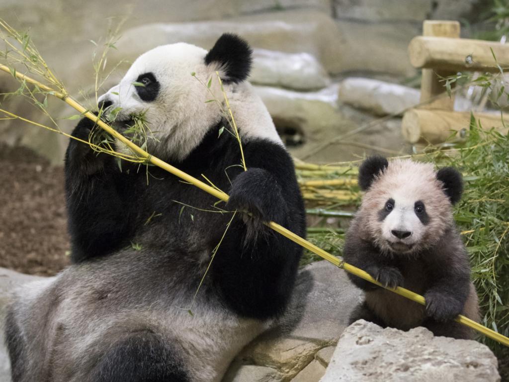 kleiner panda in frankreich zeigt sich erstmals ffentlich. Black Bedroom Furniture Sets. Home Design Ideas