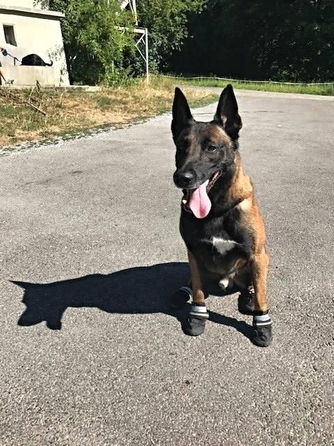 German shepherd with shoes