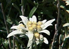 Edelweiss, edelweiss, every morning you greet me...