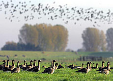 Wild geese could bring in the deadly H5N1 strain of the bird flu virus