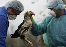 Thousands of birds have been gassed in Romania, which was the first European country to detect the deadly H5N1 virus