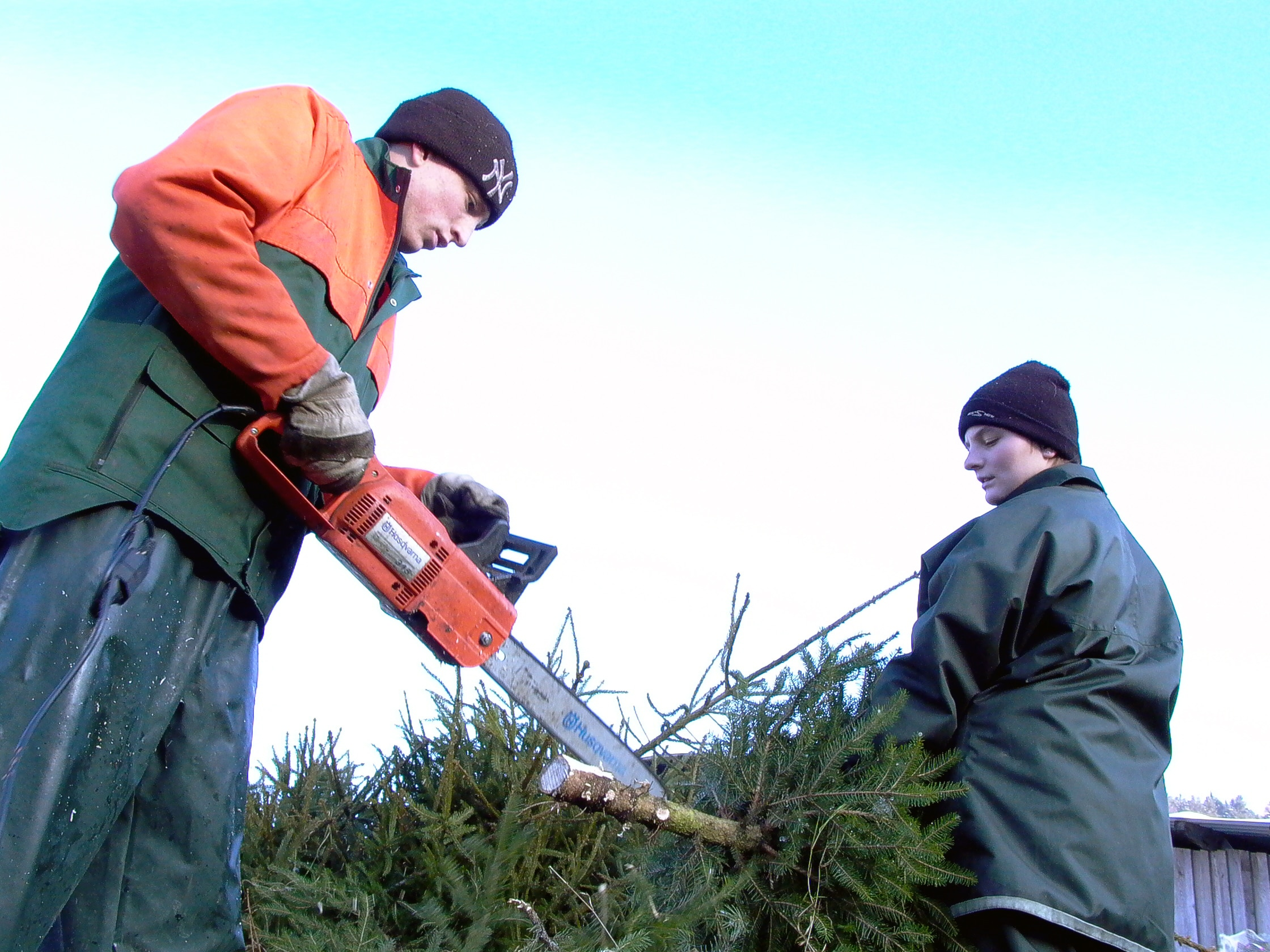 Luder needs lots of help during the cold days of December to get his trees ready for market.