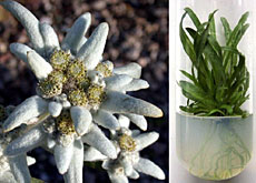 Edelweiss in the wild and in the laboratory
