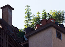 Hemp plants grow in many a Swiss backyard and on roof tops