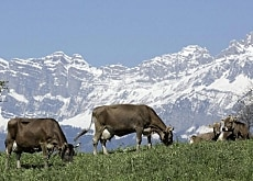 Alpine pastures are not such an idyllic place to be
