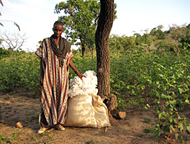 In Mali si coltiva il cotone biologico e fair trade dal 2002