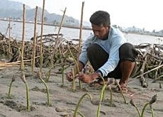 A man plants mangrove trees near the coast in Banda Aceh, Indonesia