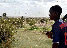 Locusts have devastated parts of western Africa