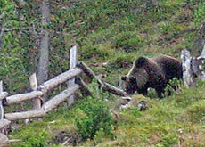 A bear like this one was spotted in Zernez