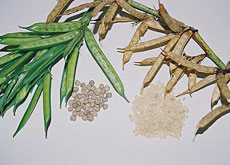 Guar gum is made from the seeds of guar plants, which mainly grow in India and Pakistan