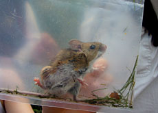 A field mouse finds itself exposed in a plastic bag to a visitor's gaze