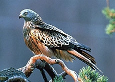 The Red Kite is considered by the Swiss a species in need of protection