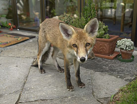 Seeing a fox in your garden – a common occurrence