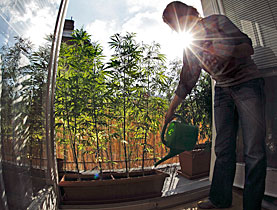 Many people grow their own hemp plants and an estimated 500,000 people occasionally smoke dope