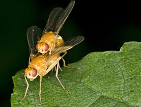 Scientists can turn fruit fly homosexuality on and off – within hours