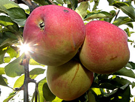 An apple a day - but what about its DNA?