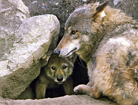 Most wolves, such as these in Zurich Zoo, are in captivity