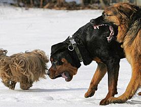 Pitbulls named most dangerous dogs - SWI swissinfo ch