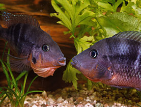 Two firemouth cichlids eye each other up