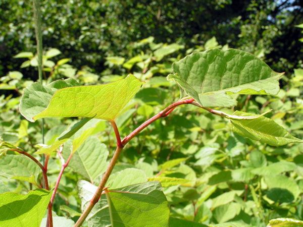 Most invasive plants have entered Switzerland as ornamentals like this Japanese knotweed