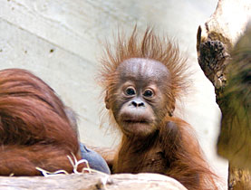 Hadiah, the long-awaited orang-utan male offspring