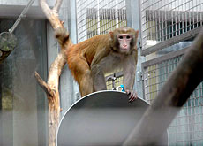 Bluesy the macaque has so far avoided taking part in a Zurich experiment (Federal Institute of Technology, Zurich)
