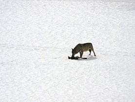 A wolf spotted by a member of the public near Quinto in canton Ticino in March 2008