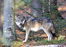 My, what a big polarising effect you have: not all Swiss have welcomed back wolves (imagepoint)