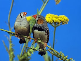 "Zebra finches need a ""sexy"" song to land a mate, so they're constantly listening to their own notes to perfect the tune they expect"