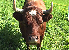 Rare Evoléne cow