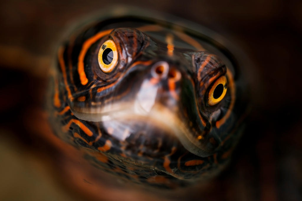 Close up of the yellow eyes of a turtle