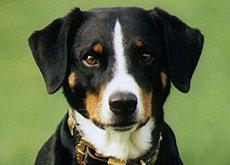 Der Appenzeller Sennenhund Eine Raritat Swi Swissinfo Ch